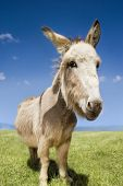 Closeup portrait of a donkey standing in field against blue sky