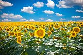Beautiful landscape with sunflower field over cloudy blue sky and bright sun lights, Staro Selo near