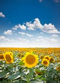 Beautiful landscape with sunflower field over cloudy blue sky and bright sun lights, Staro Selo, Serbia.