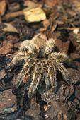 Fearful Giant Tarantula