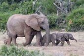 Baby African Elephants And Mom