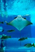 Smiley Ray no aquário de Atlantis do Palm Hotel Waterpark, Dubai, Emirados Árabes Unidos
