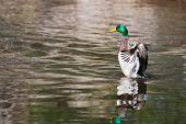 Mallard Ducks (anas Platyrhynchos) Flapping Wings In Pond