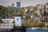Gull Above The Bosporus