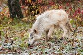 Blonde Wolf (Canis lupus) Trots Through Snowfall