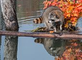 Raccoon (Procyon lotor) With Reflection Looking Left