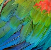 stock photo of fowl  - Colorful Greenwinged Macaw feathers - JPG