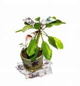 Money Tree On A White Background.