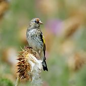 picture of goldfinches  - goldfinch in natural habitat  - JPG