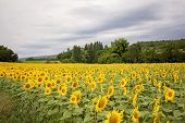 Sunflower Field In A Cloudy Day In Provence, France