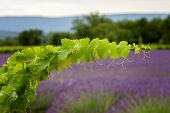 A Vine Branch On The Lavender Background, Focus Is On The Single Branch, Tender Lightening