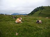 Alpine Meadow With Cows