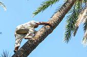 Man Climbing On Date Palm Tree