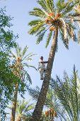 Man Climbing On Palm Tree At Oasis