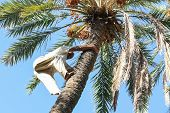 Man Climbing On Palm Tree In Oasis