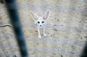 stock photo of tozeur  - A desert fox in a Zoo in Tunis Tunisia - JPG