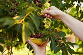 picture of cherry-picker  - Man harvesting ripe cherries in the yellow bowl - JPG