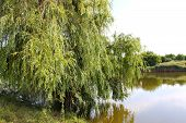 foto of weeping willow tree  - A weeping willow tree near the pond - JPG