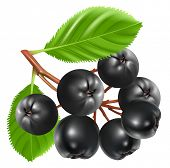 Aronia berries (chokeberry). Vector illustration.