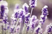 foto of lavender field  - Vintage photo of lavender in the field - JPG