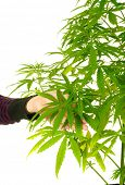 Cannabis plant in closeup with young person holding leaves