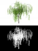 picture of weeping willow tree  - 3d computer model render wipping willow tree isolated on white background with alpha channel below - JPG