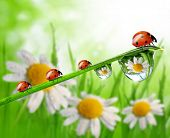 Fresh grass with dew drops and ladybugs in the background of the daisies