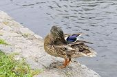 Mallard duck, female. Bird.