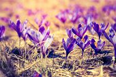 Purple crocus flower on the spring meadow. Carpathian, Ukraine, Europe. Beauty world. Retro filtered