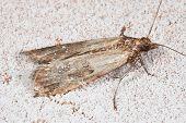stock photo of moth  - Flour Moth Pantry Moth  - JPG