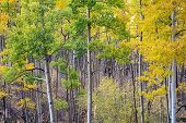 Aspen Grove In Santa Fe National Forest In Autumn