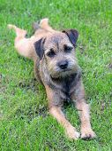 stock photo of border terrier  - Puppy Border Terrier on a summer  meadow - JPG