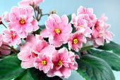 Flower Pink Saintpaulia (violet )