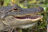 image of alligators  - American Alligator (alligator mississippiensis) basking in the sun in the Florida Everglades