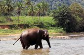 Elephant in river. Take in Pinawelle, Sri Lanka