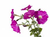pic of petunia  - Bouquet of pink petunias on a white background - JPG