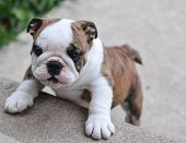 english bulldog puppy climbing up on cement stairs