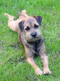 foto of border terrier  - Puppy Border Terrier on a summer  meadow - JPG