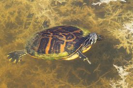 stock photo of cooter  - Florida Red-bellied Cooter (Pseudemys Chrysemys nelsoni) in the Florida Everglades ** Note: Soft Focus at 100%, best at smaller sizes - JPG