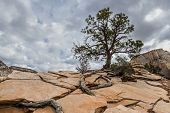 pic of long distance  - alone tree with long roots growing on rocky arid terrain on top of a mountain in Zion nations Park - JPG