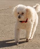 Poodle walking with shadow portrait