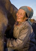foto of mongolian  - Mongolian milking woman milking the cow - JPG