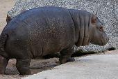 Little hippopotamus (Hippopotamus amphibius).