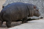 image of hippopotamus  - Little hippopotamus  - JPG