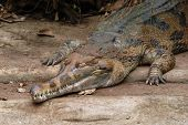 False gavial (Tomistoma schlegelii), also known as the false gharial or Malayan gharial.