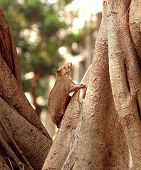 Large Brown Tree Squirrel