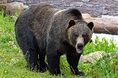 stock photo of grizzly bear  - Photo of a Grizzlie Bear - JPG