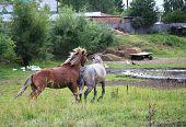 Courtship horses.