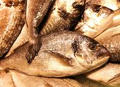 Black Seabream Spondyliosoma Cantharus Mediterranean Sea Food Fresh Fish On Ice Barcelona Market