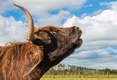 image of moo-cow  - Highland cow with her long horns doing a moo call - JPG